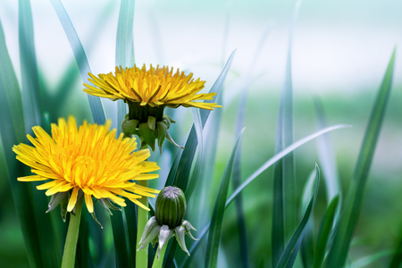 dandelion: bright spring natural background with dandelions
