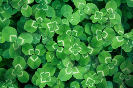 four leafed: clover leaves full screen as a background Stock Photo