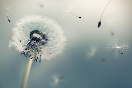 민들레 빛 배경에 바람에 씨앗을 비행. 유화 효과.