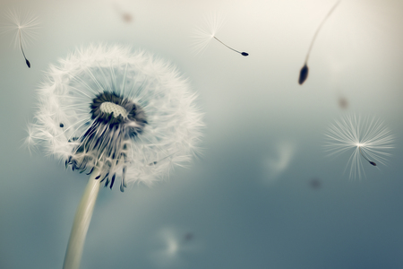 Dandelion flying seeds in the wind against light background. Oil painting effect. Imagens - 54795722