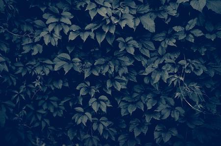 climbing plant: dark wall of climbing plant full screen as background Stock Photo