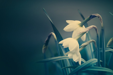 spring background with narcissus flowers low key Stock Photo