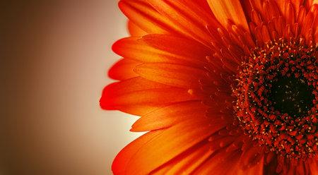 Bright red gerbera flower close up