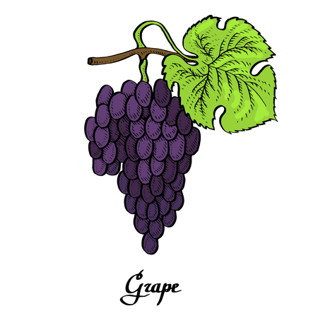 Poster of vector coloured calligraphy red  grape for t-shirt, bag, mug, branding, web