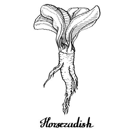 Horseradish vector calligraphy poster for web, textile, branding, t-shirts, cards, craft Vektorgrafik