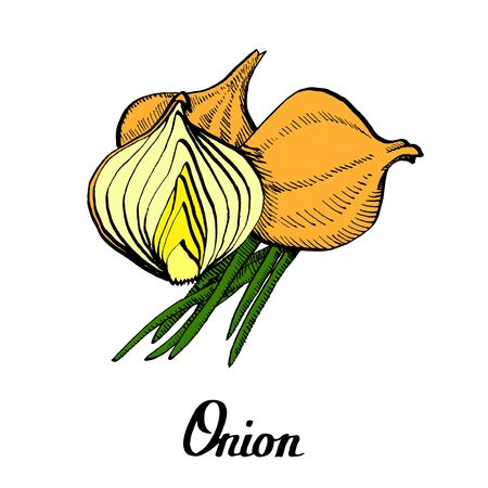 Vector calligraphy hand drawn white onion root