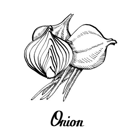 Vector calligraphy hand black and white onion Illustration