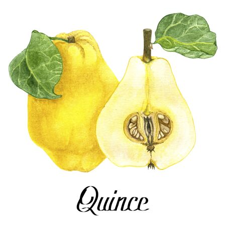 Original watercolour quince with type on white