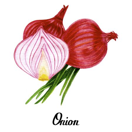 Watercolour original natural red hand drawn onion