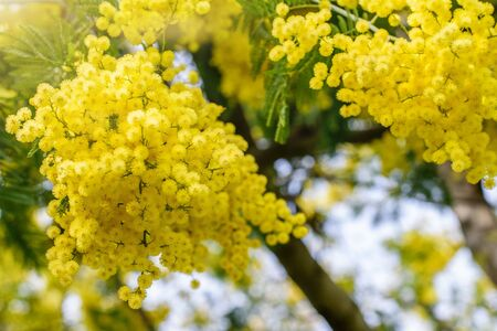 Bunches of beautiful fluffy golden mimosa in the sunbeams. Nice nature, gardening, springtime.