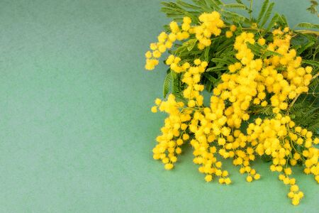 Fresh bouquet of golden spring flower mimosa on the green background isolated closeup. Mom's day, Valentine's day concept.