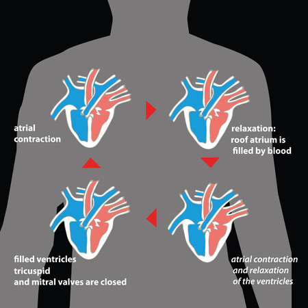 Cardiac cycle in human body silhouette. Ilustração