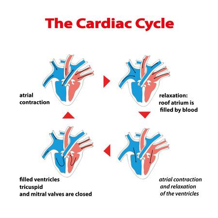 Hartcyclus. Hartcyclus van hart op geïsoleerd wit. Cardiale cyclus info afbeelding. Cyclus van de werking van de hartkleppen.