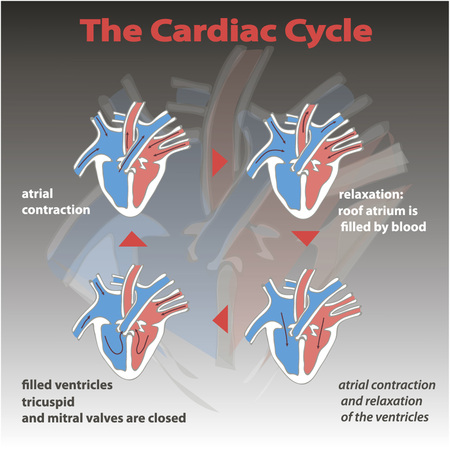 right ventricle: The cardiac cycle of heart on gradient background isolated. heart circle education vector info graphic.