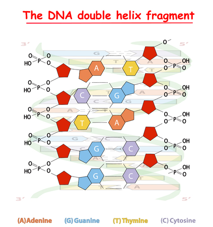 DNA double helix fragment structure: Nucleotide, Phosphate, Sugar, and bases. DNA education info graphic.