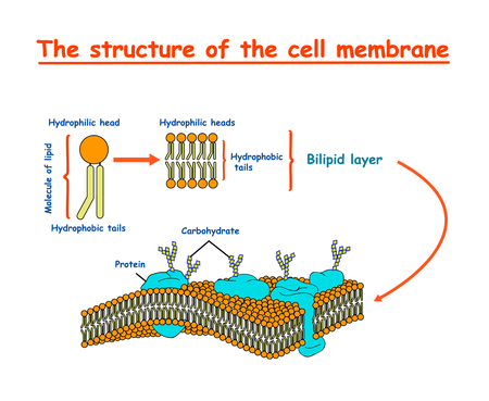 cell membrane structure. Education vector illustration  イラスト・ベクター素材