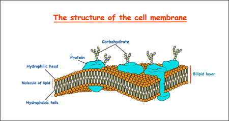 cell membrane structure. Education vector illustration Иллюстрация