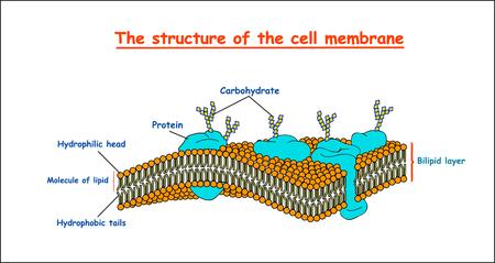 cell membrane structure. Education vector illustration Illustration