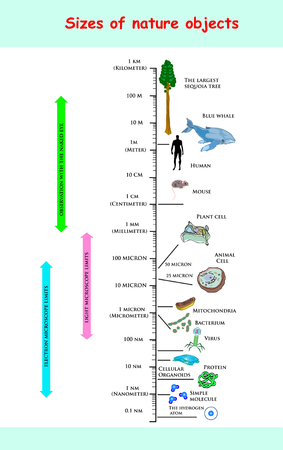 sizes and dimension of nature objects. educational vector infectious comparing the sizes of nature objects: The largest sequoia tree The Blue Whale Human Mouse Plant Mitochondria Bacterium Virus. Illustration