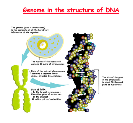 Genome 3D in the structure of DNA. genome sequence. Telomere is a repeating sequence of double-stranded DNA. Nucleotide, Phosphate, Sugar, and bases. education vector Illustration