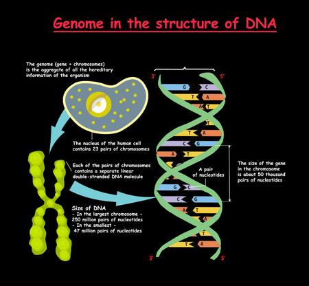 Genoma en la estructura del ADN sobre fondo negro. secuencia del genoma Nucleótido, fosfato, azúcar y base Ilustración vectorial.