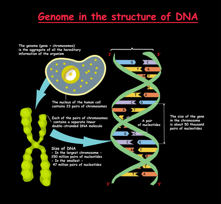 Genome in the structure of DNA on black background. genome sequence. Nucleotide, Phosphate, Sugar, and base Vector illustration. Vettoriali