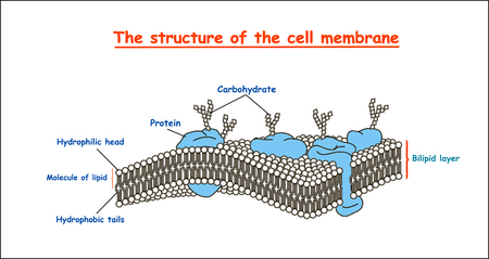 cell membrane structure in monochrome on white background isolated. Education vector illustration