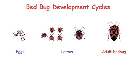 Bed Bug Development Cycles. Education vector illustration. Vectores