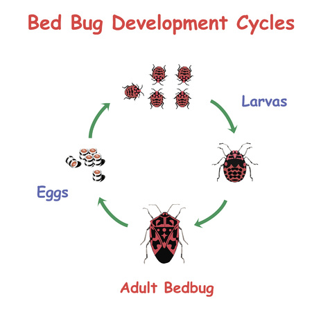 Bed Bug Development round Cycles. Education vector illustration.