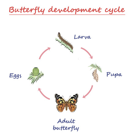 Butterfly development round cycle isolated on white background. Eggs, larva, pupa and adult butterfly in born progress. education vector illustration. Stock Illustratie