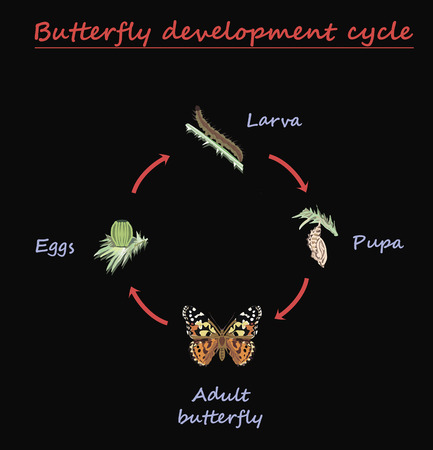 Butterfly development round cycle isolated on black background. Eggs, larva, pupa and adult butterfly in born progress. education vector illustration