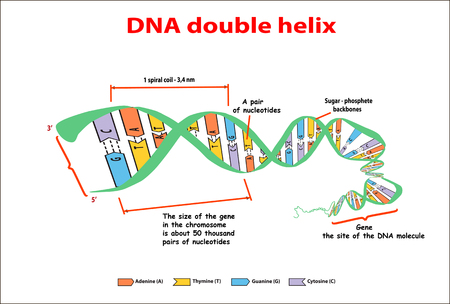 DNA structure double helix on white background. Nucleotide, Phosphate, Sugar, and bases. education vector info graphic. Adenine, Thymine, Guanine, Cytosine Illustration
