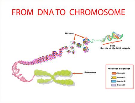 Del ADN al cromosoma. secuencia del genoma. Nucleótidos, fosfatos, azúcares y bases. educación vecto Ilustración de vector