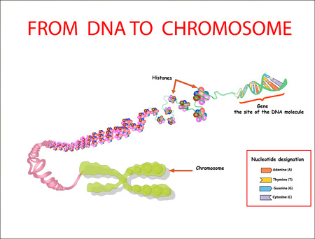 From DNA to chromosome. genome sequence. Nucleotide, Phosphate, Sugar, and bases. education vecto