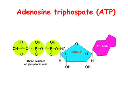 Adenosine triphosphate (ATP) on white background. ATP provides energy to drive many processes in living cells, eg muscle contraction, nerve impulse propagation, chemical synthesis