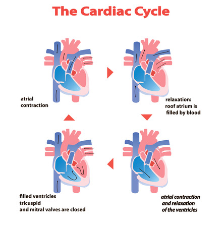 Heart cardiac cycle of heart on white background isolated. heart circle education vector info graphic.