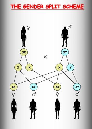 Gender split human scheme. Gender male female reproduction, Vector info gender gender scheme. Ilustrace