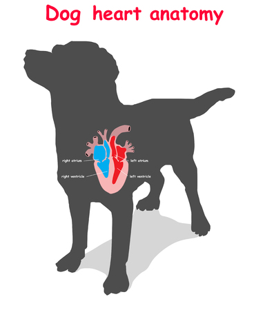 Dog heart anatomy on black dog silhouette with shadow isolated. Part of the mammal heart. Anatomy of pet heart illustration. Education vector illustration. Ilustrace