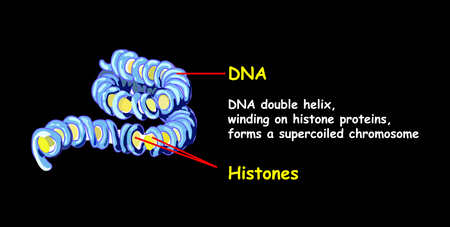 Double helix of DNA spilling per superspread chromosome. DNA replication isolated on black. Education info graphic.