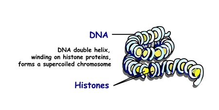 Double helix of DNA spilling per superspread chromosome. DNA replication isolated on white. Education info graphic.