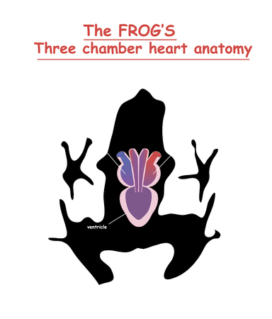 Frog heart anatomy on black dog silhouette with shadow isolated. Part of the mammal heart. Anatomy of pet heart illustration. Education vector illustration. Ilustrace