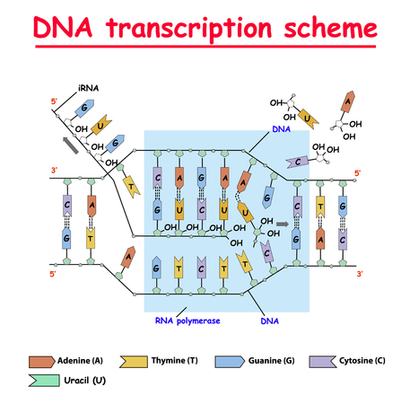 DNA transcription. DNA and RNA structure helix colore on white background. Nucleotide, Phosphate, Sugar, and bases. education vector info graphic. Adenine, Thymine, Guanine, Cytosine. 向量圖像