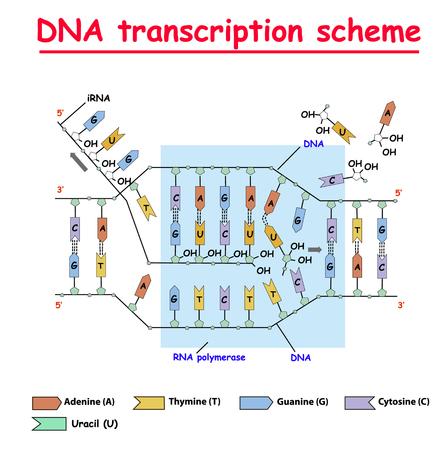 DNA-Transkription. DNA- und RNA-Struktur Helix Colore auf weißem Hintergrund. Nukleotid, Phosphat, Zucker und Basen. Bildung Vektorgrafik Infografik. Adenin, Thymin, Guanin, Cytosin.