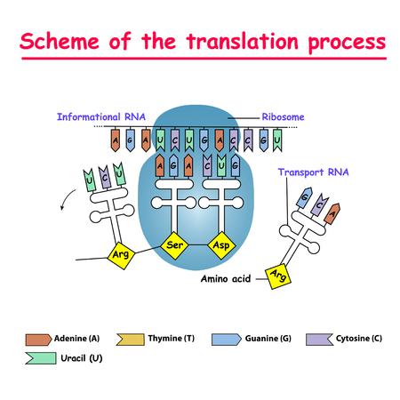 Schema des Übersetzungsprozesses. Synthese von mRNA aus DNA im Zellkern. Das mRNA-dekodierende Ribosom ist eine Bindungssequenz für mRNA-Codons.