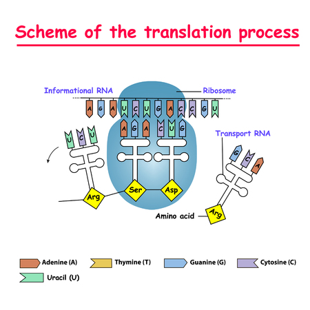 Scheme of the translation process. syntesis of mRNA from DNA in the nucleus. The mRNA decoding ribosome is a binding sequence for mRNA codons. Stock Illustratie