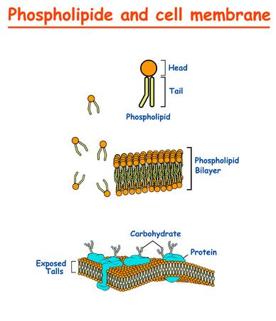 Fosfolipidi e membrane cellulari. grafico di informazioni sulla struttura della membrana cellulare su sfondo bianco isolato. Illustrazione vettoriale di istruzione