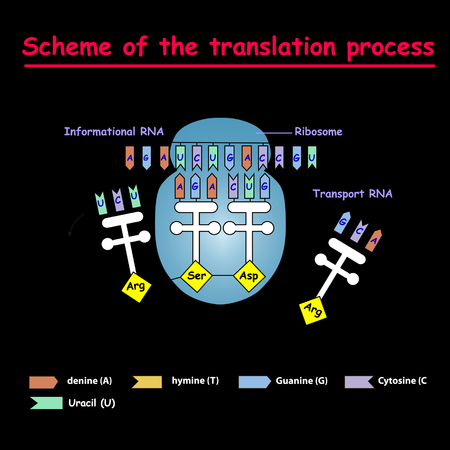 Scheme of the translation process. syntesis of mRNA from DNA in the nucleus. The mRNA decoding ribosome is a binding sequence for mRNA codons. Illustration