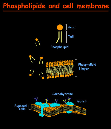 Phospholipides and Cell mambrains. cell membrane structure info graphic on black background isolated. Education vector illustration