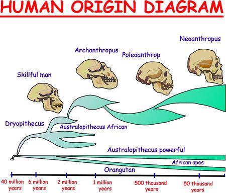 Evolution of the skull. Human origin diagram. Neoanthropus. Poleoanthrop. Orangutan. African apes Australopithecus powerful. Archanthropus. Skillful man. Dryopithecus.