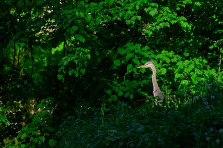 Grey heron peeking through bushes in forest, Zagreb Croatia Stock Photo